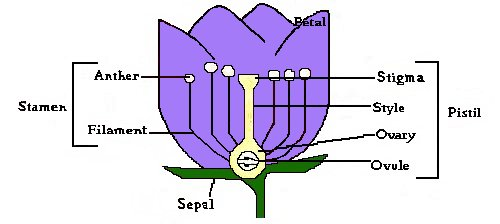 Flower anatomy parts of a flower and thier functions anatomy of a flower ccuart Image collections